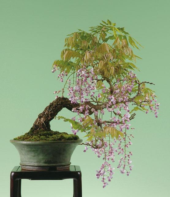 bonsai blauregen gr ser im k bel berwintern. Black Bedroom Furniture Sets. Home Design Ideas