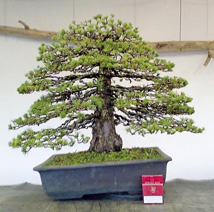 bonsai kaufen bonsai einebinsenweisheit. Black Bedroom Furniture Sets. Home Design Ideas
