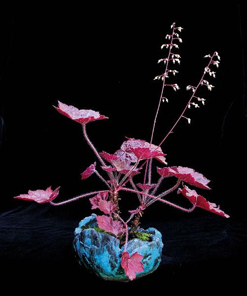 "Heuchera ""Palace Purple"" (Schale: Cecilia & Dan Barton, England)"
