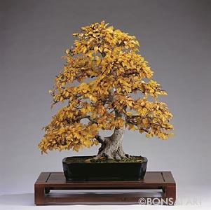 Carpinus Betulus bonsai