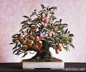 bonsai art fachzeitschrift bonsaib cher malus apfel. Black Bedroom Furniture Sets. Home Design Ideas