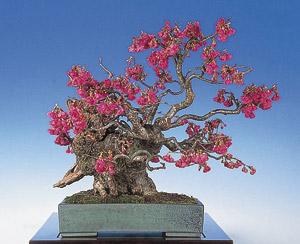 Kirschbaum bonsai