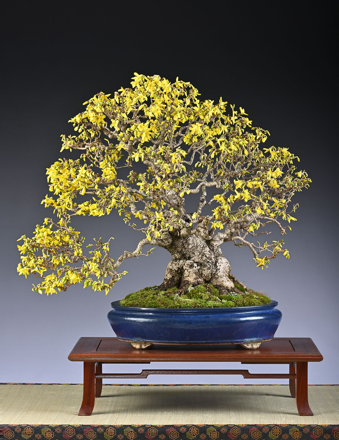 BONSAI ART AWARD 2019:  Garten Forsythie von Frank Jesse