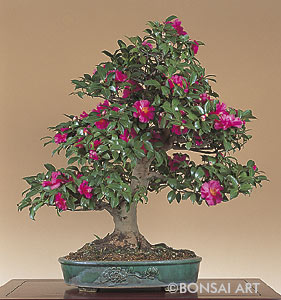 bonsai art fachzeitschrift bonsaib cher camellia kamelie. Black Bedroom Furniture Sets. Home Design Ideas