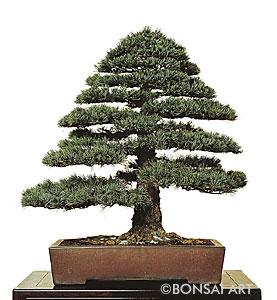 Bonsai Art Pinus Kiefer