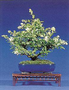 bonsai art fachzeitschrift bonsaib cher ligustrum liguster. Black Bedroom Furniture Sets. Home Design Ideas
